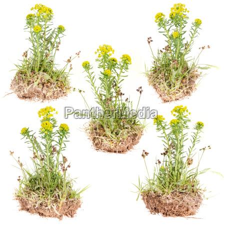 fiore pianta selvaggio