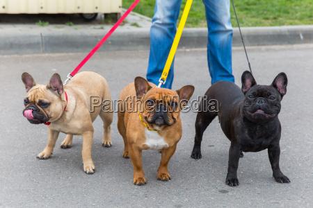 tre cani domestici bulldog francese razza
