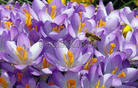 primavera croco crochi api insetto ape
