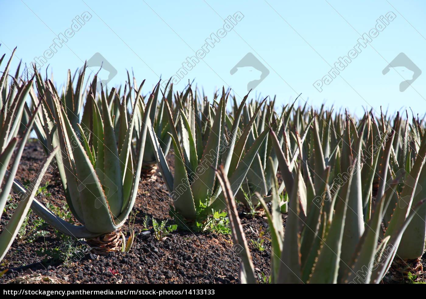 canarie, pianta medicinale, pianta, isola, canarini - 14133133