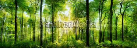 waldpanorama con raggi di sole