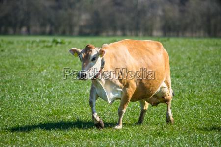 cibo agricolo femminile animale mammifero marrone