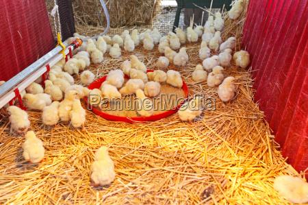 animali agricoltura uccelli bestiame fattoria coltivare