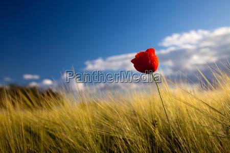 fiore pianta fioritura fiorire estate papavero