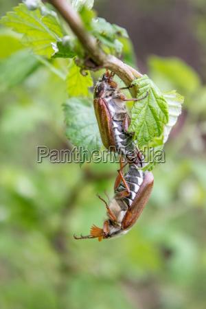 foglia animale insetti marrone saltare balzare
