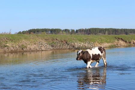 animale mucca acqua dolce stagno acqua