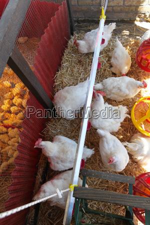 animale uccelli fattoria pollo pollaio coltivare