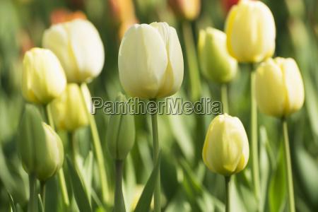 tulip in primavera nel parco