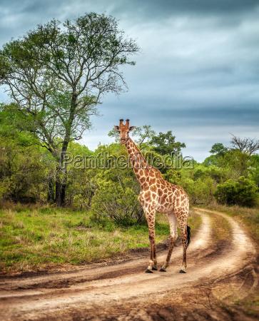 giraffa selvatica sudafricana