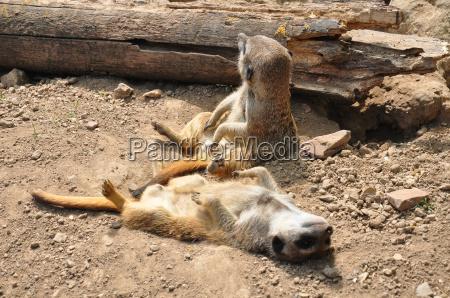 animale mammifero menzogna bugia sonno addormentato