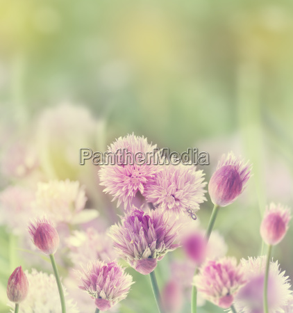 erba cipollina blossom