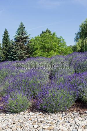 blu albero alberi fioritura fiorire lavanda
