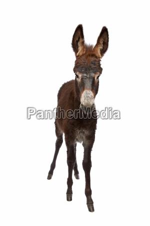animale mammifero marrone in piedi bestiame