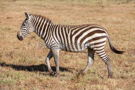 zebra nelle praterie