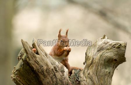 scoiattolo rosso con nocciole