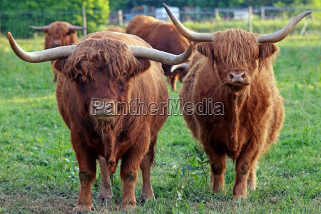 maschio e femmina bestiame