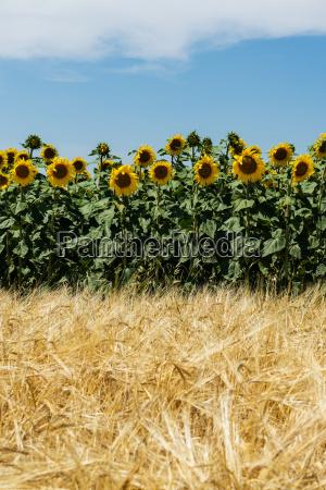agricoltura con girasoli e cereali