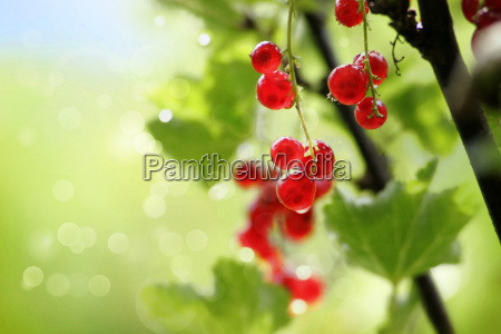 red currants in garden