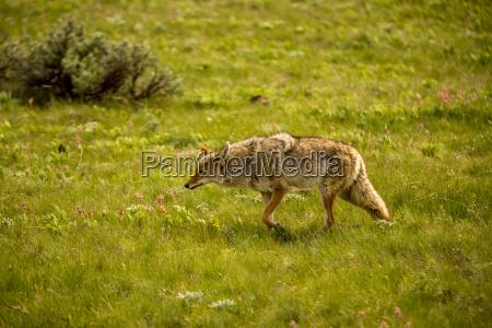 steppa america natura predatore caccia