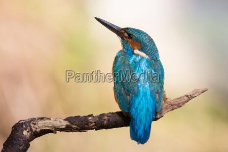 animale uccello fauna uccelli natura martin