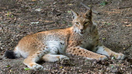 lince f