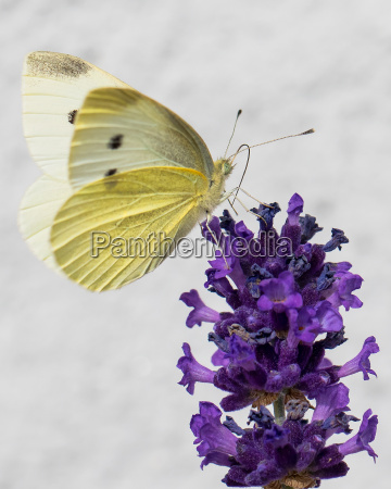 farfalla minore lavanda albino cavolaia fioritura