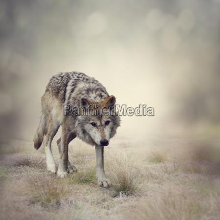 lupo animale mammifero fauna selvatica carta