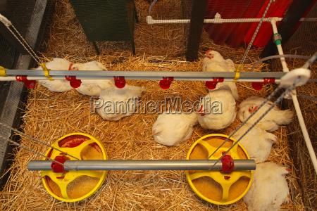 animale uccelli fattoria uovo pollo uova