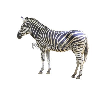 animale zoo zebra natura safari ecologia