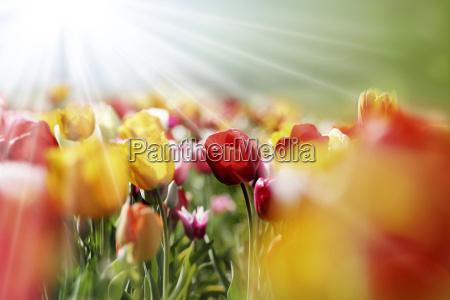 tulipani raggi di luce