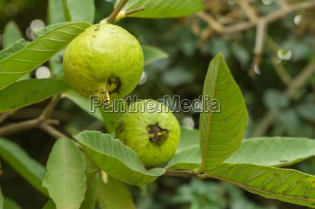 un primo piano di un guava