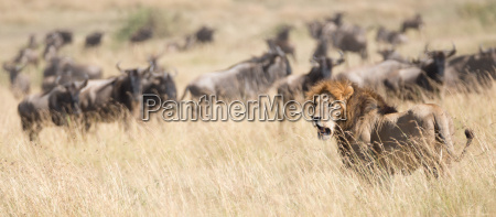 animale mammifero africa kenia savana virile