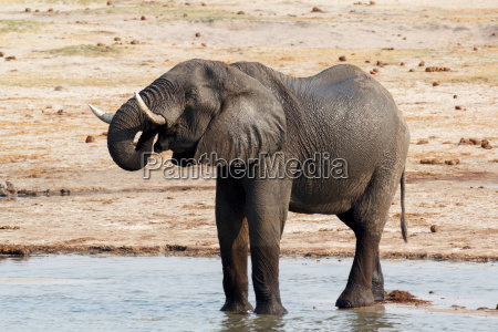 africa elefante natura