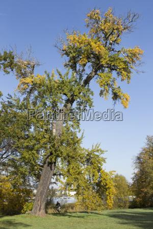 slender tree