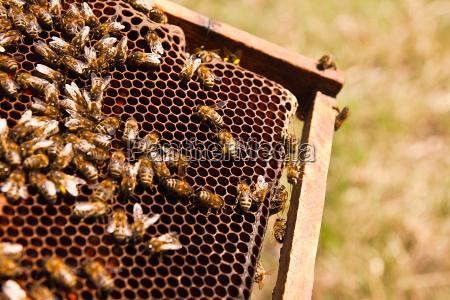 insetto agricoltura polline apiario cera arnia