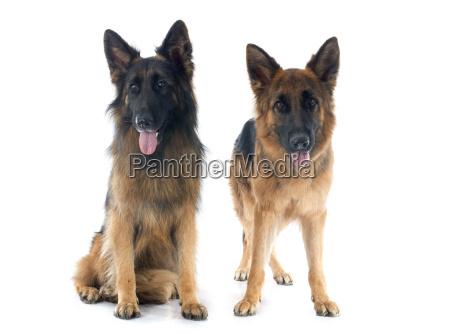 due pastori tedeschi