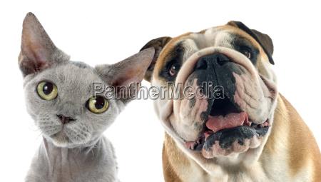 bulldog inglese e devon rex