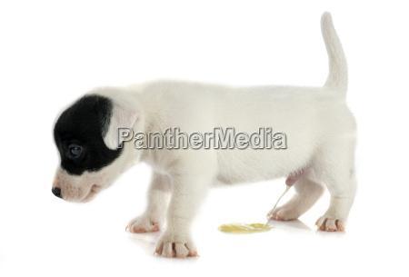 cucciolo jack russel terrier