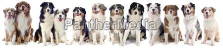 cane adulto cucciolo adulti gruppo