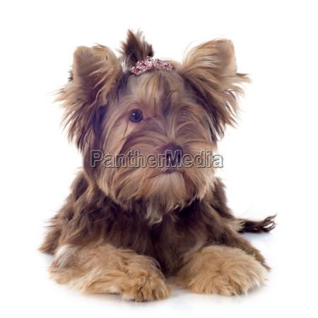cioccolato yorkshire terrier