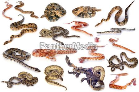 gruppo di serpenti