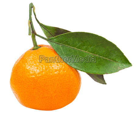 ripe abkhazian tangerine with leaves isolated
