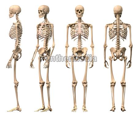 maschio scheletro umano quattro viste anteriore