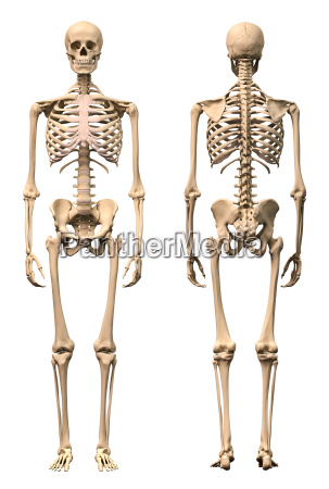 male human skeleton two views front