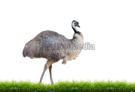 emu con erba verde isolato
