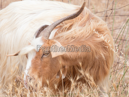 animale mammifero marrone capra corno divertente