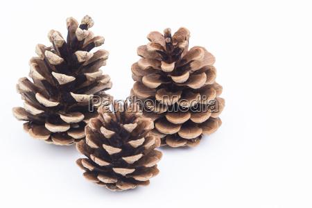 coni di pino isolati