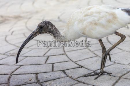 australiano ibis