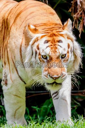 invecchiamento tiger