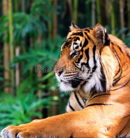 gatto tigre bengala sumatran